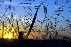 Salida del sol a través de la hierba de la mañana Fotografía de archivo