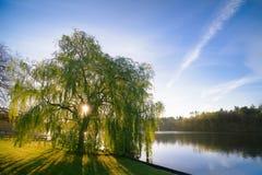 Salida del sol a través de Willow Tree On un lago azul Fotografía de archivo