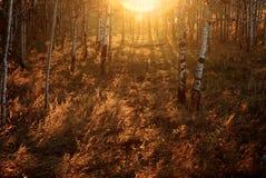 Salida del sol vaga del abedul anaranjado Fotografía de archivo