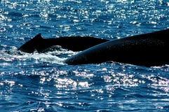 Salida a la superficie de dos ballenas Foto de archivo libre de regalías