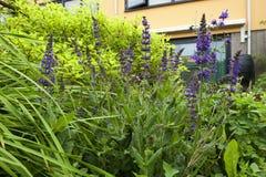 Salie, шалфей, Salvia стоковое фото rf