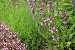 Salie, lavendel en wilde thyme Royalty-vrije Stock Afbeeldingen