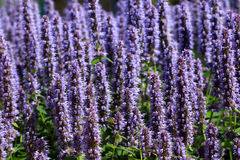 Salie or Salvia nemorosa `Marcus` Royalty Free Stock Photos