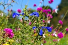 Salie van de Salvia patens de ook geroepen geroepen gentiaan Stock Foto's