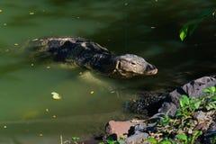 Saliendo de debajo la cubierta de un lago oscuro de Forest Park, de subidas grandes de un lagarto de monitor hacia fuera y en la  fotos de archivo
