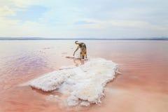 Salinas. Pink lake in Spain. Salt lake. Dog on the salt island in the pink lake. Royalty Free Stock Photography