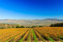 Salinas Valley. Grapes at Salinas Valley, Autumn Royalty Free Stock Photos