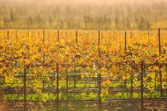 Salinas Valley. Grapes at Salinas Valley, Autumn Royalty Free Stock Image