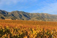 Salinas Valley. Grapes at Salinas Valley, Autumn Stock Photo