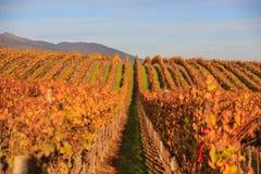 Salinas Valley. Grapes at Salinas Valley, Autumn Royalty Free Stock Photo