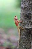 Salita della lucertola sull'albero Fotografia Stock