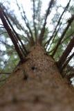 Salita in un albero molto alto Fotografia Stock
