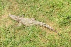 Salite del coccodrillo sul campo di erba fotografia stock libera da diritti