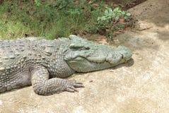 Salite enormi del coccodrillo sulla strada cementata fotografie stock