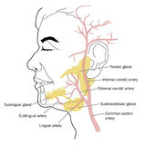 Salivary glands and blood supply Stock Images