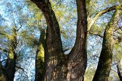 Salix alba. Several tribes of Salix alba Saliaceae Royalty Free Stock Photo