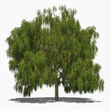 Salix alba 'Tristis' (summer) Royalty Free Stock Image