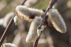 Salix alba (witte wilg) knoppen Stock Afbeeldingen