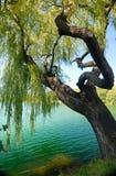 Salix babylonica Stock Images