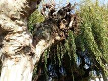 Salix babylonica Obraz Royalty Free