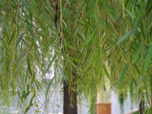 Salix Babylonica Leaf and tree From Riverside Garden in Tianjin,Travel in Tianjin, China, October 19th, Year 2017. Salix Babylonica Leaf and tree From Riverside royalty free stock photos