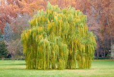 Salix babylonica tree on Autumn landscape Stock Image
