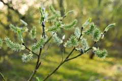 Salix branches, outdoor Royalty Free Stock Image