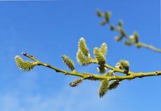 Salix caprea Fotografia Stock