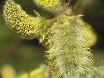 Salix caprea. Kilmarnock willow Royalty Free Stock Images