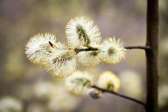 Salix caprea Zdjęcie Stock
