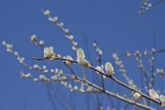 160_Salix caprea 库存图片