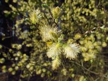 Salix caprea blossom close-up, macro photo seasonal, april. Pollen grains for inflorescence Royalty Free Stock Photo