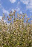 Salix caprea and blue sky with white clouds. Salix caprea goat willow, also known as the pussy willow or great sallow is a common species of willow native to royalty free stock photography