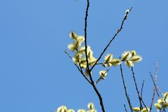 Flowers Salix caprea. Salix caprea branches in spring with flowers on divorous trees Royalty Free Stock Photos