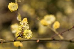 Salix caprea - closeup of yellow blossoms on branches of a willow Stock Photography