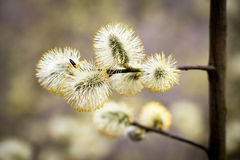 Salix caprea Stock Photo