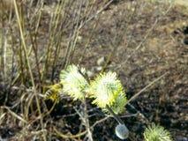 Salix caprea e una giovane ape Immagine Stock