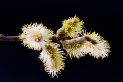 Salix caprea. goat willow Stock Image