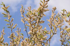 Salix caprea and blue sky with white clouds. Salix caprea goat willow, also known as the pussy willow or great sallow is a common species of willow native to royalty free stock photos