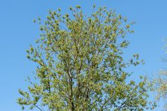Salix caprea, goat willow or great sallow, deciduous shrub. Background of trees and clear blue sky Stock Photos