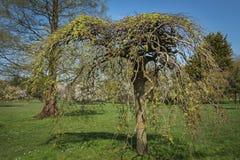 Salix caprea `Kilmarnock, species of willow tree. Beautiful view of weeping willow tree -Salix caprea `Kilmarnock` with bare branches and umbrella shape crown Royalty Free Stock Image