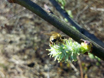 Salix caprea and a young bee. Blossom of willow Salix caprea - deserves special attention because bees collect nectar, pollen, glue, we see in the photo, and see Royalty Free Stock Photography