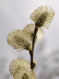 Salix Catkins Stock Photography