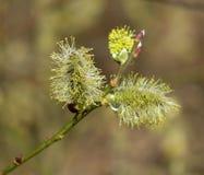 Salix di fioritura in habitat naturale Immagini Stock Libere da Diritti