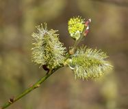 Salix floreciente en hábitat natural Imágenes de archivo libres de regalías