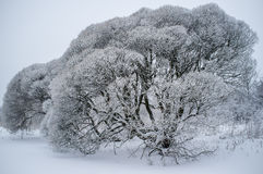 Salix fragilis (brittle willow) trees covered with snow Royalty Free Stock Photos