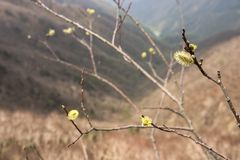 Salix gracilistyla blossoms. Before appearing leaves in Nikko Royalty Free Stock Image