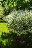 Salix Integra Hakuro-Nishiki Royalty Free Stock Photography