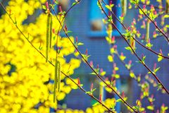 Salix willow tree male and female catkin buds. In sunlight at spring with bright yellow blooming forsythia bush on background. Abstract natural background Stock Image