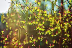 Salix willow tree male and female catkin buds in sunlight. At spring. Abstract natural background Stock Images